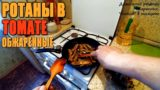 Обжаренные ротаны в томате